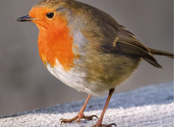 Robin Wildlife Trust Christmas Cards